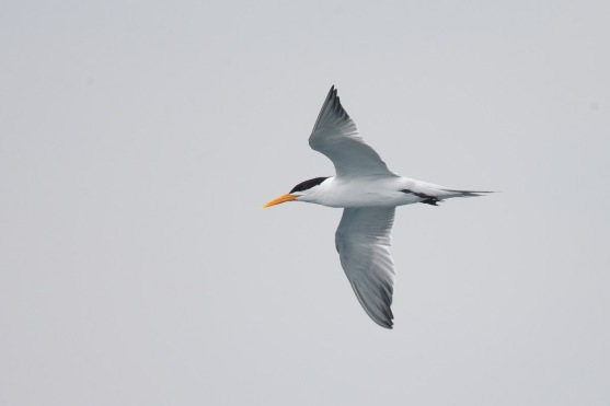 Lesser Crested Tern in breeding plumage at Singapore Strait. Photo Credit: Francis Yap