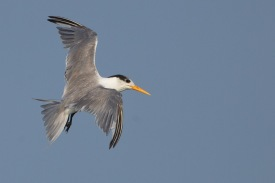 Non-breeding Lesser Crested Tern at Singapore Strait. Photo Credit: Francis Yap