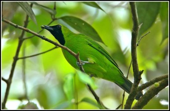 Male Lesser Green Leafbird from Panti Bird Sanctuary. Photo credit: Daniel Koh