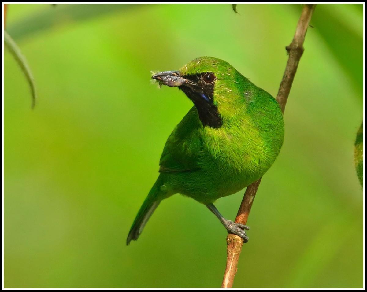 Lesser green leafbird singapore birds project for Birds project