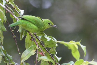 Female Lesser Green Leafbird from Panti Bird Sanctuary. Photo credit: Myron Tay