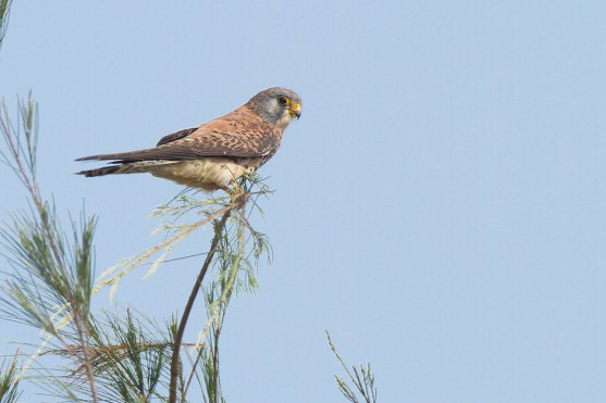 Subadult male Lesser Kestrel at Changi Cove. Photo Credit: Nicholas Tan