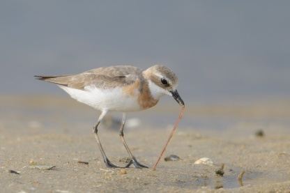 Lesser Sand Plover at Seletar Dam. Photo credit: Francis Yap