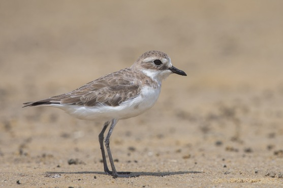 Non-breeding Lesser Sand Plover at Seletar Dam. Photo Credit: Francis Yap