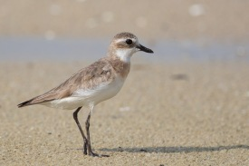 Lesser Sand Plover moulting to non-breeding plumage at Seletar Dam. Photo Credit: Francis Yap