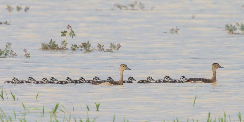 Lesser Whistling Ducks at Punggol Barat. Photo Credit: Francis Yap