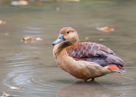 Lesser Whistling Duck. Photo credit: See Toh Yew Wai