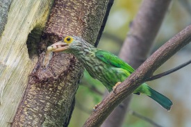 Lineated Barbet at Dempsey. Photo Credit: Francis Yap