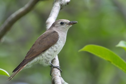 Juvenile Little Bronze Cuckoo at Pasir Ris. Photo Credit: Francis Yap