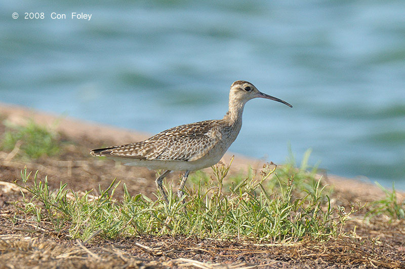 Little Curlew at Leanyer Sewage Works, Australia. Photo Credit: Con Foley