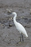 Little Egret at SBWR. Photo Credit: Francis Yap
