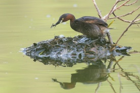 Little Grebe nest building at Lorong Halus. Photo credit: Francis Yap