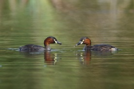Little Grebe at Lorong Halus. Photo credit: Francis Yap