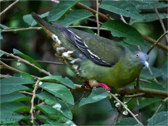 Female Little Green Pigeon at Panti Forest. Photo Credit: Lawrence Cher