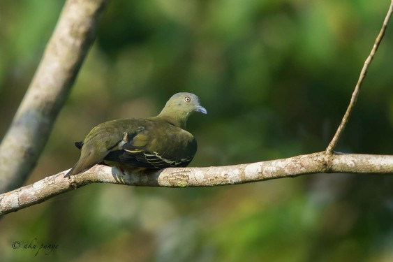 Female Little Green Pigeon at Panti Forest. Photo Credit: Mohamad Zahidi