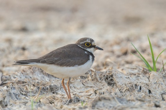 Non-breeding Little Ringed Plover at Punggol Barat. Photo credit: Francis Yap