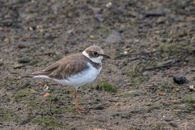 Non-breeding Little Ringed Plover at Pasir Ris Farmway 3. Photo credit: Francis Yap