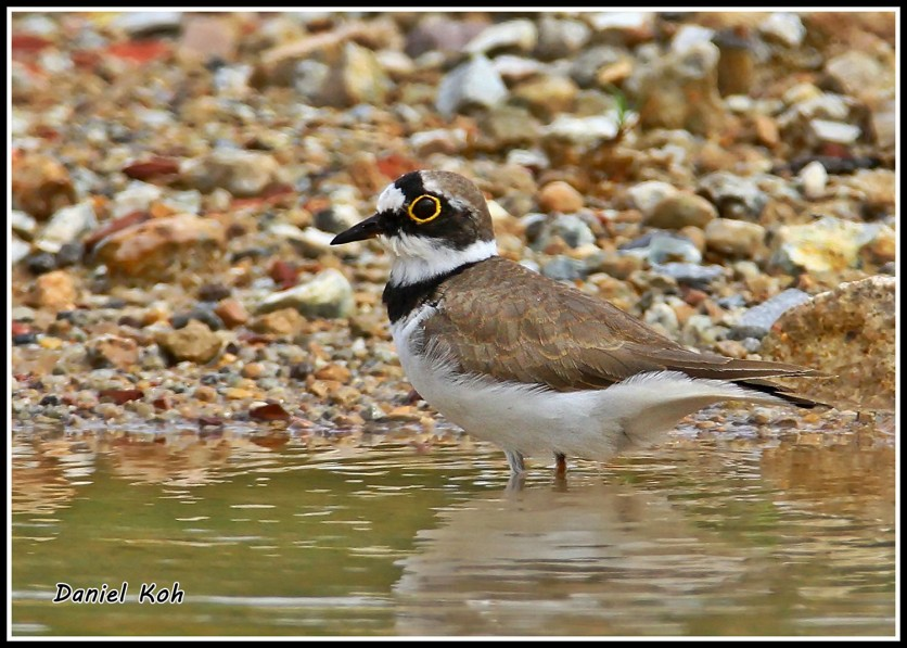 Male Little Ringed Plover in breeding plumage. Photo credit: Daniel Koh aka Hiker