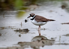 Male Little Ringed Plover in breeding plumage. Photo credit: Frankie Cheong