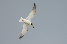 Non-breeding plumage Little Tern at Sungei Serangoon. Photo Credit: Francis Yap