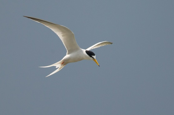 Breeding plumage Little Tern at Punggol Beach. Photo Credit: Francis Yap