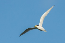 Little Tern at Lorong Halus. Photo Credit: Francis Yap