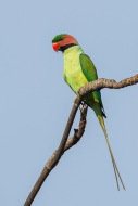 Male Long-tailed Parakeet at Jelutong Tower. Photo Credit: Francis Yap