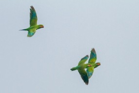 Female and juvenile Long-tailed Parakeets at Jelutong Tower. Photo Credit: Francis Yap