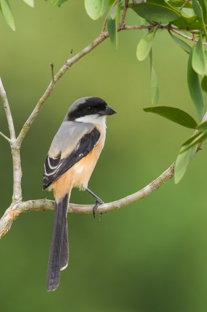 Long-tailed Shrike at Punggol. Photo credit: Francis Yap