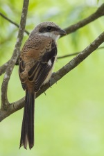 Juvenile Long-tailed Shrike at Punggol. Photo Credit: Francis Yap