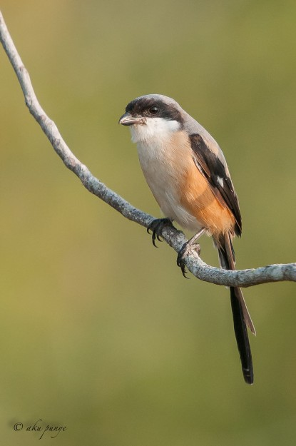 Long-tailed Shrike. Photo Credit: Zahidi Hamid