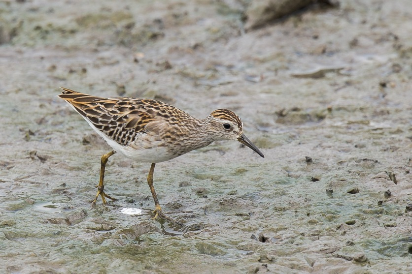 Long-toed Stint at SBWR. Photo Credit: Francis Yap