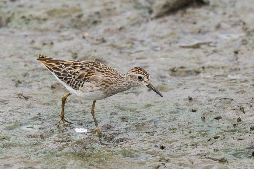 Long-toed Stint at SBWR. Photo Credit: Francis Yap