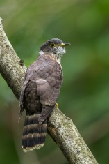 Malaysian Hawk-Cuckoo at Bidadari. Photo Credit: Francis Yap
