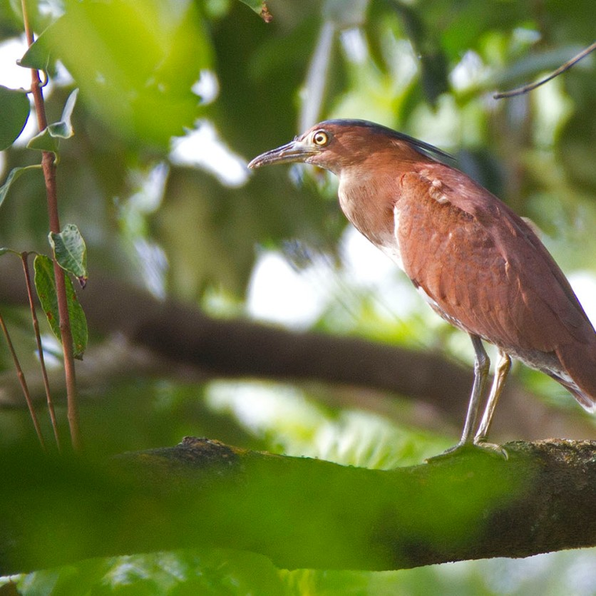 Adult Malayan Night Heron at Bidadari. Photo credit: Alan Ng