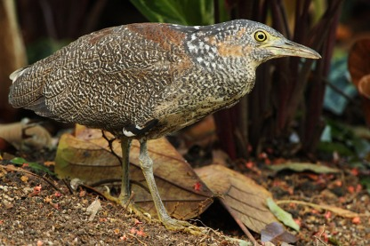Juvenile Malayan Night Heron at Singapore Botanic Gardens. Photo credit: Chris Li