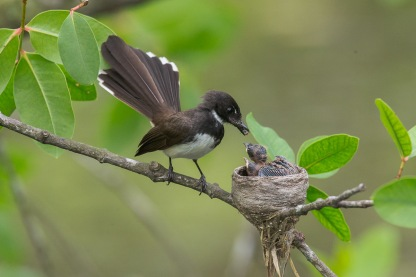 Malaysian Pied Fantail at Pasir Ris Park. Photo Credit: Francis Yap