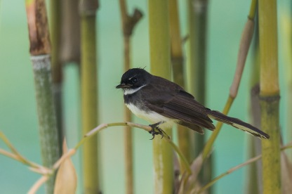 Malaysian Pied Fantail at Japanese Garden. Photo Credit: Francis Yap