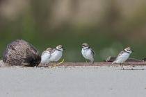 Malaysian Plovers at Changi Cove. Photo Credit: Francis Yap
