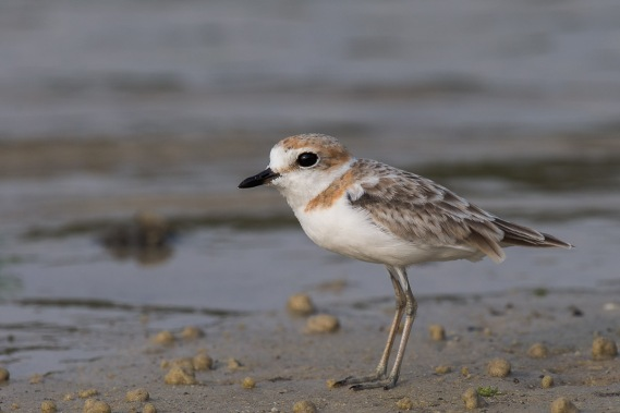 Female Malaysian Plover at Seletar Dam. Photo Credit: Francis Yap