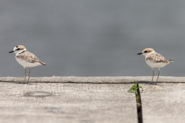 Malaysian Plovers at Sletar Dam. Photo Credit: Francis Yap