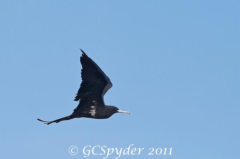 Male Lesser Frigatebird at Jakarta Bay. Photo credits: Wong Lee Hong