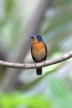 Female Mangrove Blue Flycatcher at Pulau Ubin. Photo Credit: Chris Li