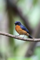 Male Mangrove Blue Flycatcher at Pulau Ubin. Photo Credit: Chris Li