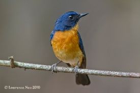Male Mangrove Blue Flycatcher from Pulau Ubin. Photo Credit: Lawrence Neo