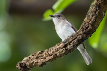 Mangrove Whistler at Pulau Hantu. Photo Credit: Francis Yap