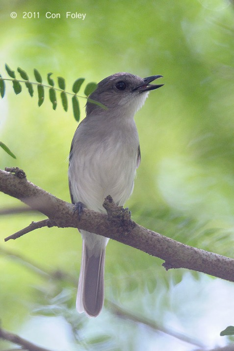 Mangrove Whistler. Photo Credit: Con Foley