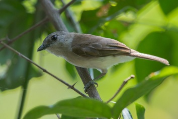 Mangrove Whistler at Pulau Hantu on 11 May 2014. Photo Credit: Francis Yap