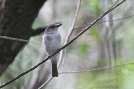 Mangrove Whistler at Pulau Tekong on 16 Dec 2012. Photo Credit: Lim Kim Chuah