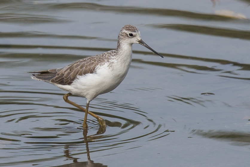 Marsh Sandpiper at SBWR. Photo Credit: Francis Yap